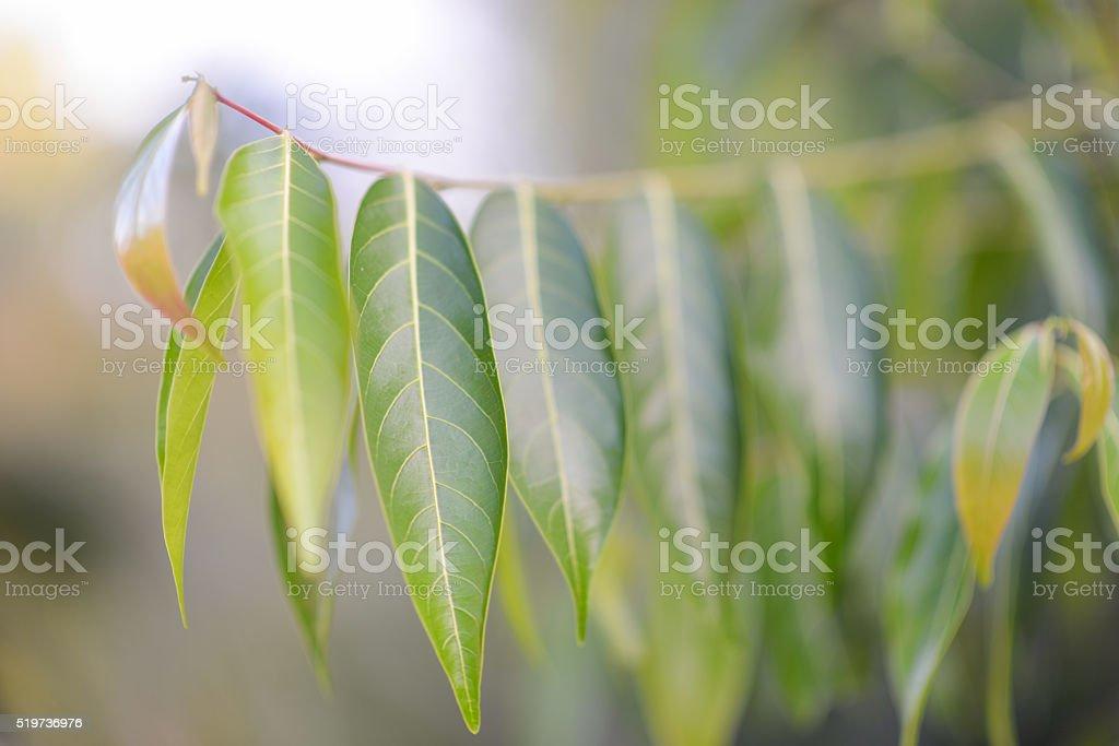 Eukalyptus/gum Baum-Blätter – Foto