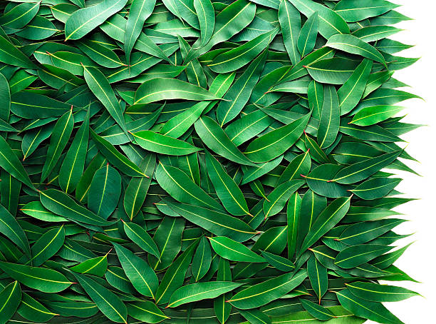 eukalyptus-blätter - eukalyptusbaum stock-fotos und bilder