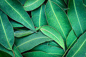 Eucalyptus Leaves Full Frame Background Top View