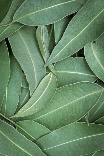Eucalyptus Leaves Full Frame Background Top View stock photo