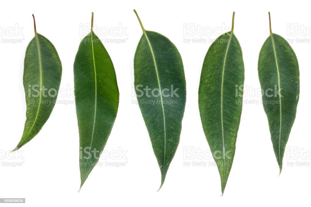 Eucalyptus Leaves Isolated on White – Foto