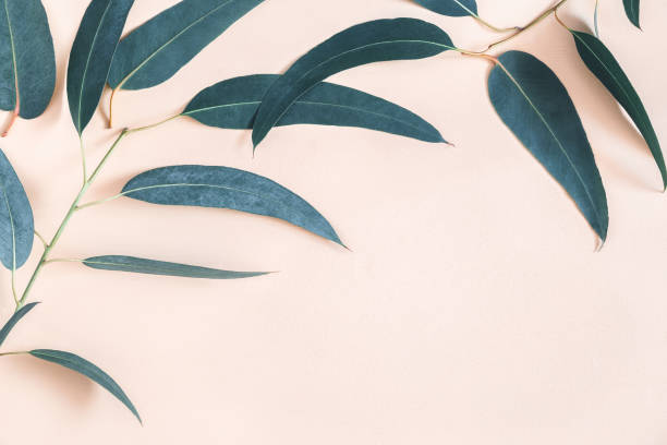 Eucalyptus leaves on pastel beige background. Frame made of eucalyptus branches. Flat lay, top view, copy space stock photo