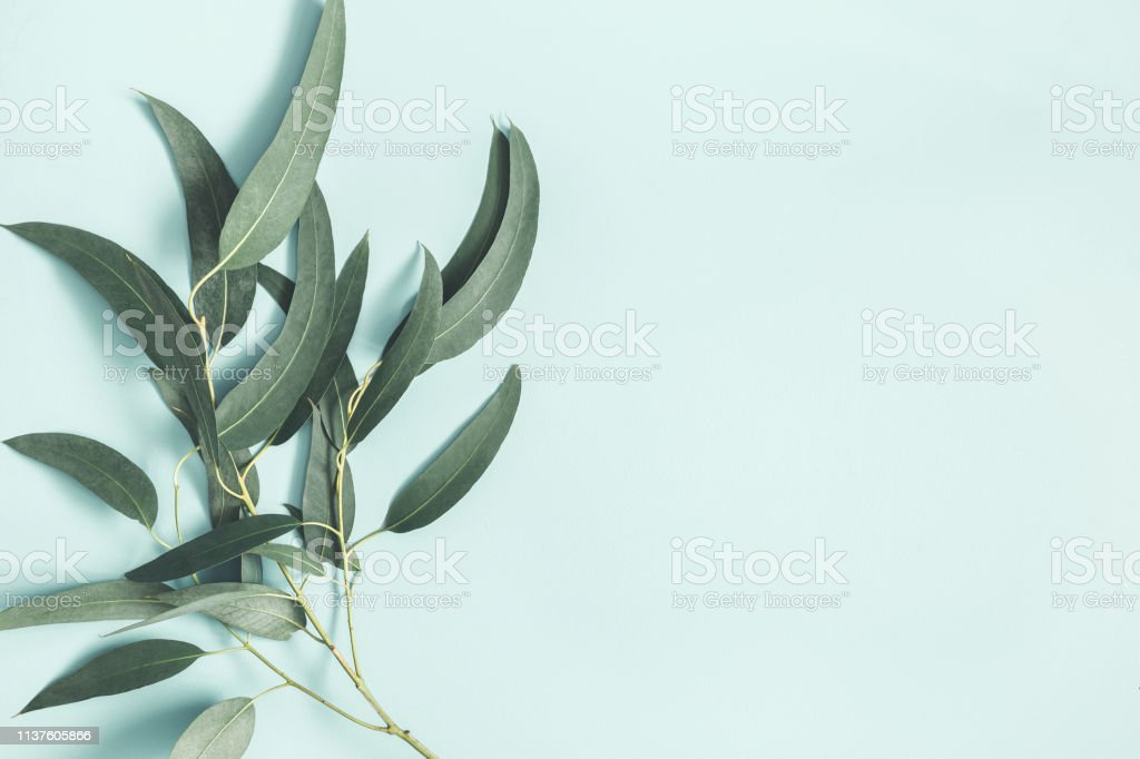 Eucalyptus leaves on pastel mint background. Pattern made of...