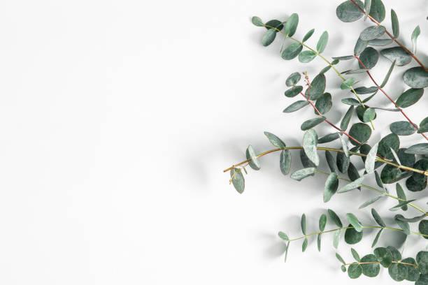 eukalyptus lämnar på vit bakgrund. ram gjord av eukalyptus grenar. platt låg, uppifrån vy - eucalyptus bildbanksfoton och bilder