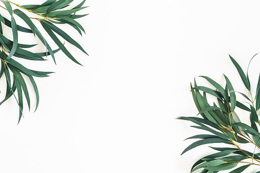 Eucalyptus leaves on white background. Frame made of eucalyptus branches. Flat lay, top view