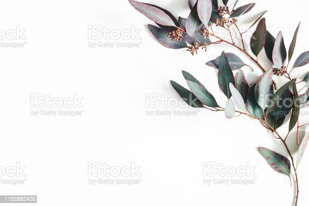 Eucalyptus leaves on white background pattern made of eucalyptus picture id1152892420?b=1&k=6&m=1152892420&s=612x612&h=pngyponph28sxf0f8auoxdphtrww0yzqm54esrlyn5g=