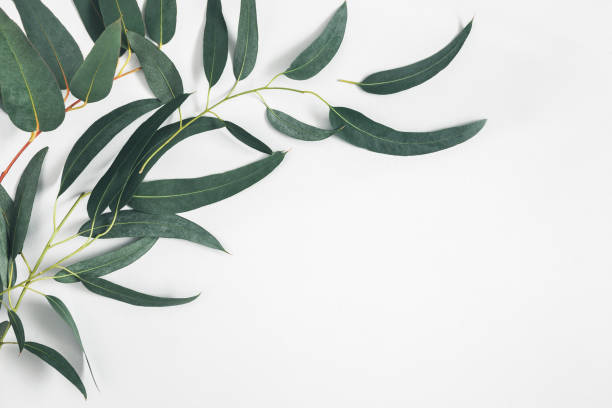 Eucalyptus leaves on white background. Pattern made of eucalyptus branches. Flat lay, top view, copy space stock photo