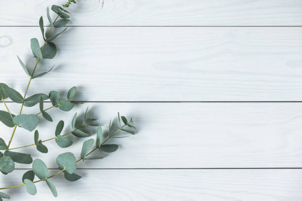 Eucalyptus leaves on white wooden background. Frame made of eucalyptus branches. Flat lay, top view, copy space stock photo