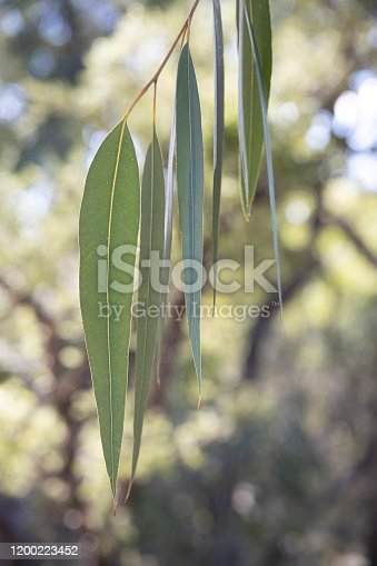 Australian eucalyptus or gum tree leaves in the afternoon sunlight.