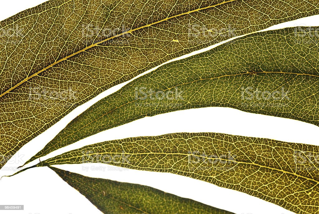 eucalyptus leaves royalty-free stock photo