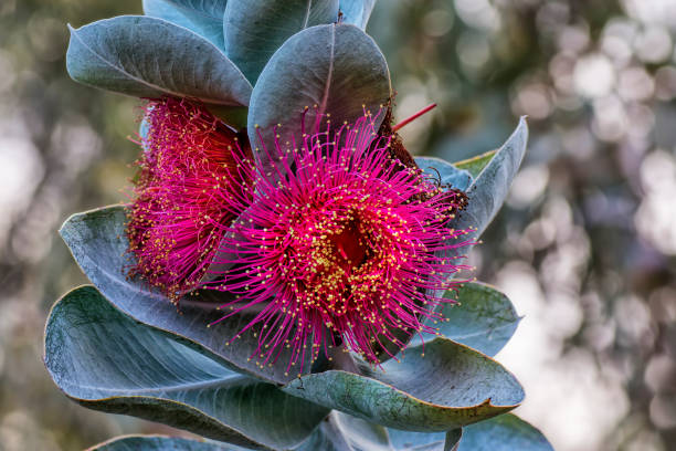 Eucalyptus macrocarpa, or Mottlecah, stock photo