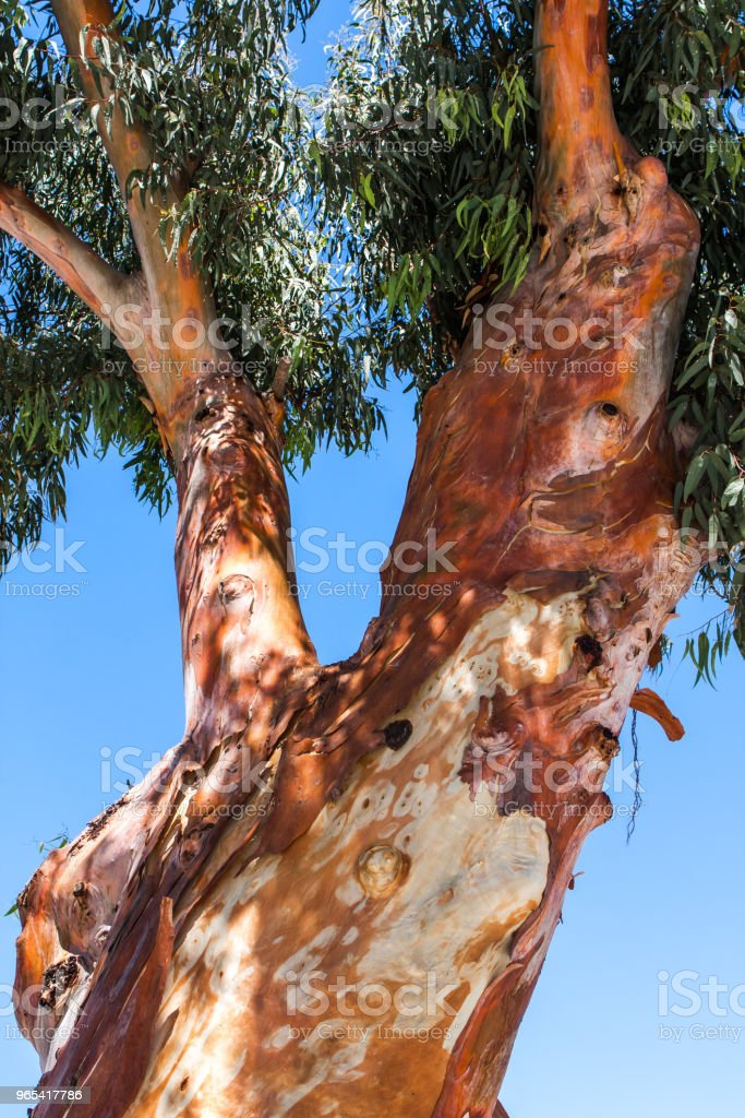 eucalyptus on blue sky background, view of a bottom-up royalty-free stock photo
