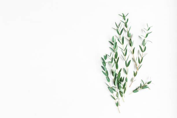 eukalyptus auf weißem hintergrund. flach legen, top aussicht - eukalyptusbaum stock-fotos und bilder