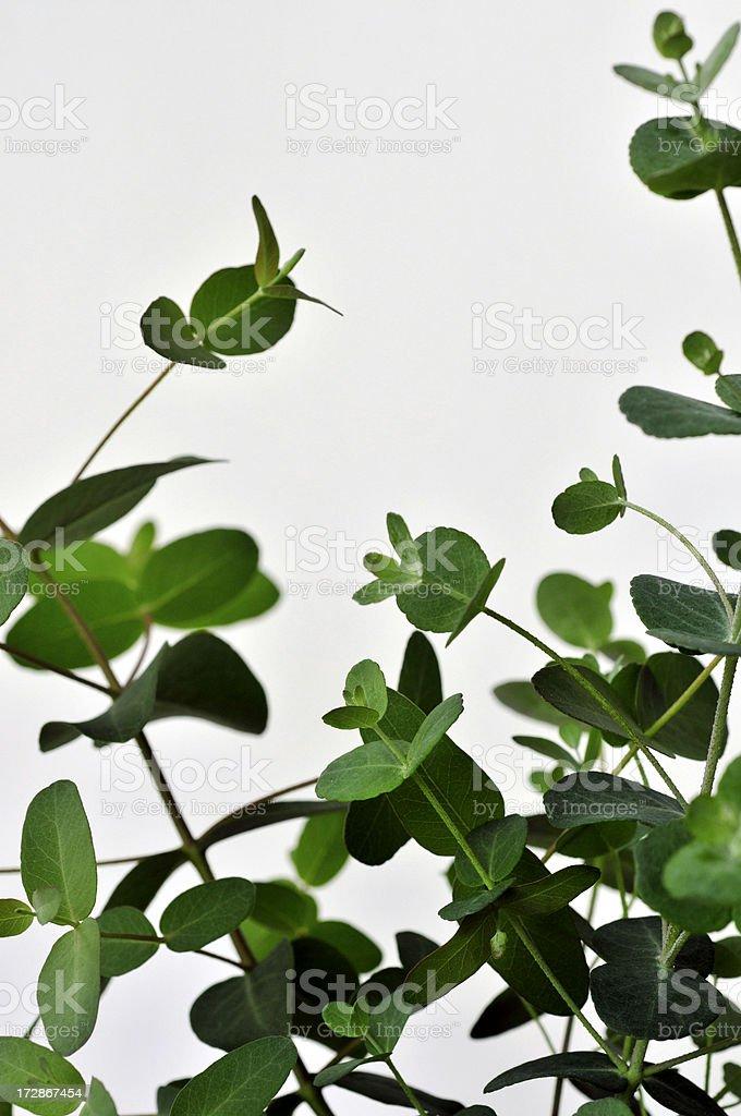 Eucalyptus On White royalty-free stock photo