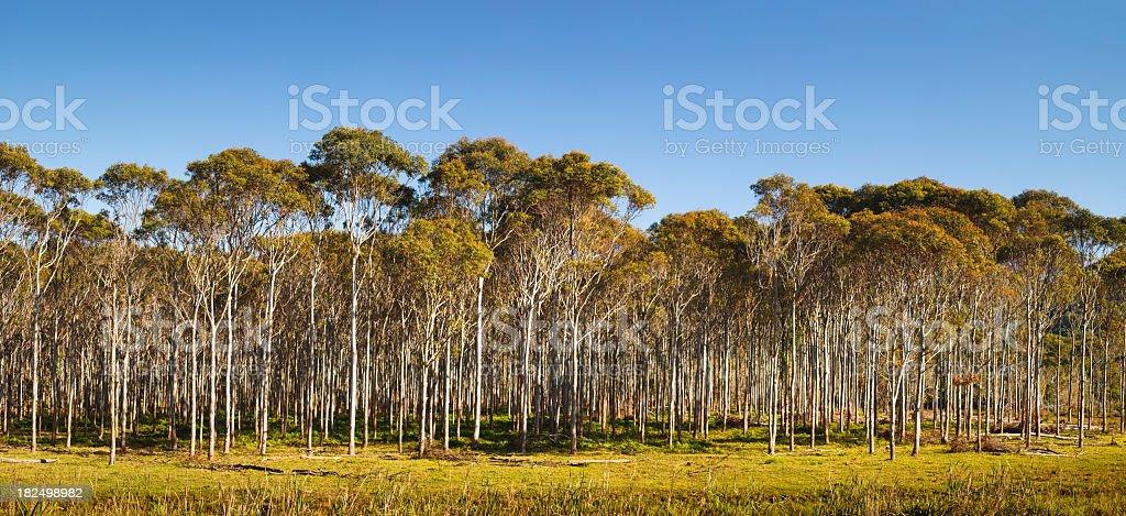 Eucalyptus Panorama royalty-free stock photo