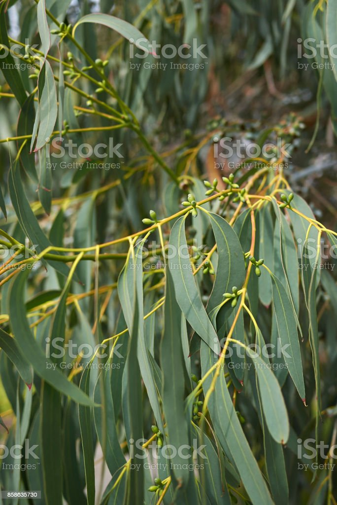 Eucalyptus perriniana stock photo
