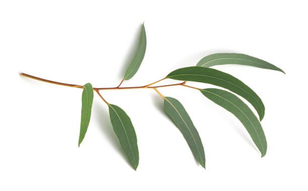 eucalyptus - eucalyptus bildbanksfoton och bilder