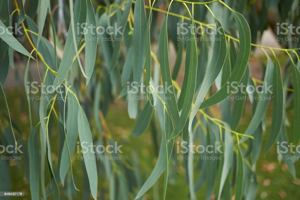 eucalyptus stock photo