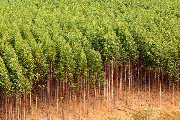 Eucalyptus plantation in Brazil stock photo
