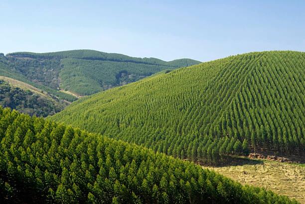 eucalyptus plantations in brazil - eucalyptus tree stock photos and pictures