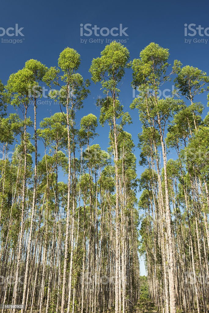 Eucalyptus Reforestation royalty-free stock photo