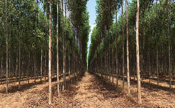 Eucalyptus tree field stok fotoğrafı