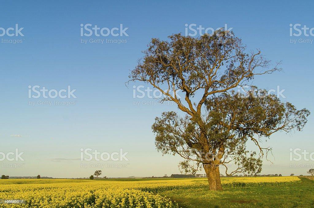 Eucalyptus tree in canola field near Ballarat stock photo