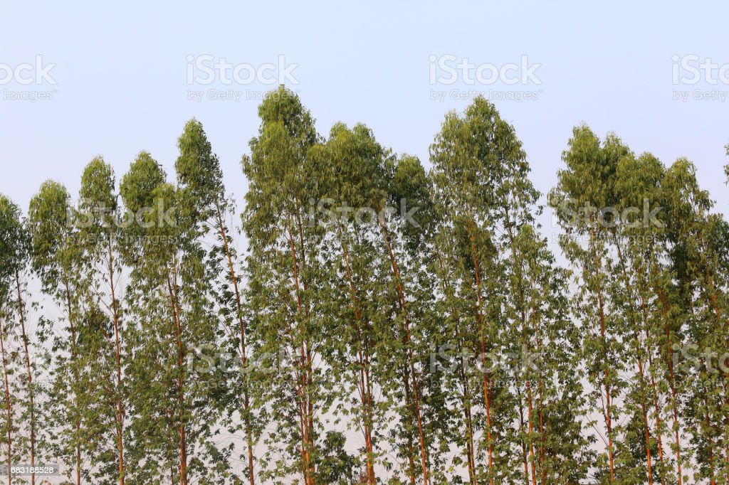 Eucalyptus tree in the Farm. 免版稅 stock photo