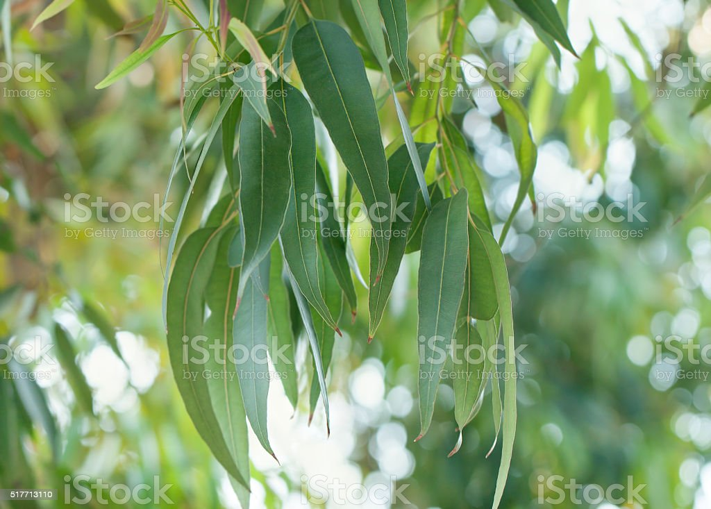 eucalyptus tree leaves stock photo amp more pictures of