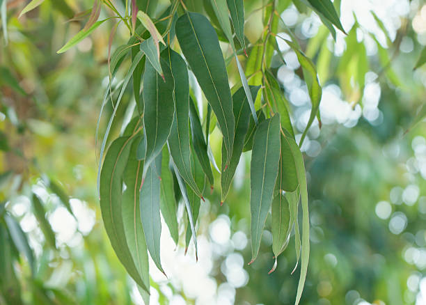 eukalyptus-baum-blätter - eukalyptusbaum stock-fotos und bilder