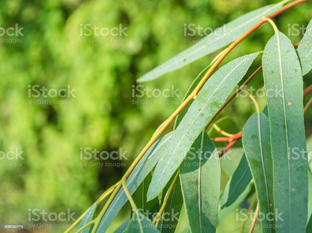 Eucalyptus tree leaves with water drop stock photo