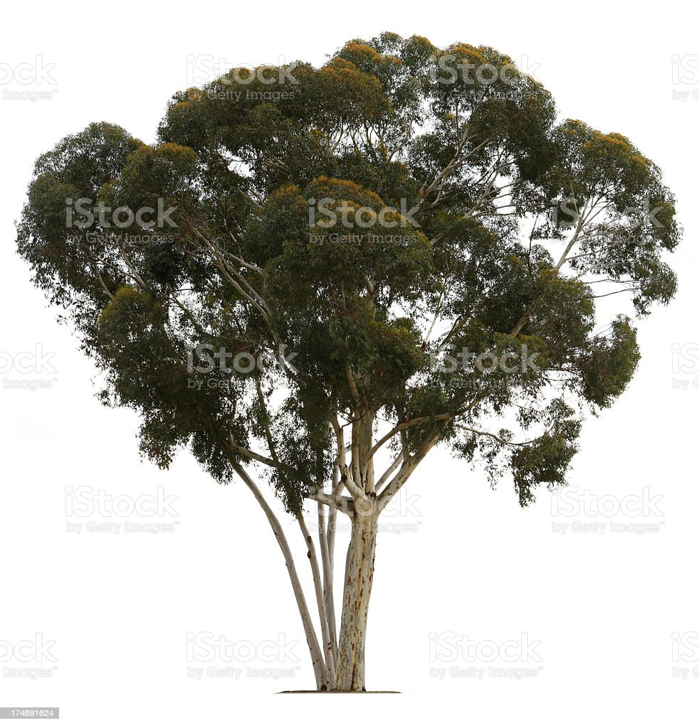 Eucalyptus Tree royalty-free stock photo