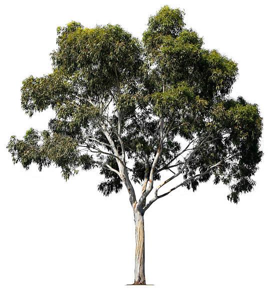 eucalyptus tree - eucalyptus tree stock photos and pictures