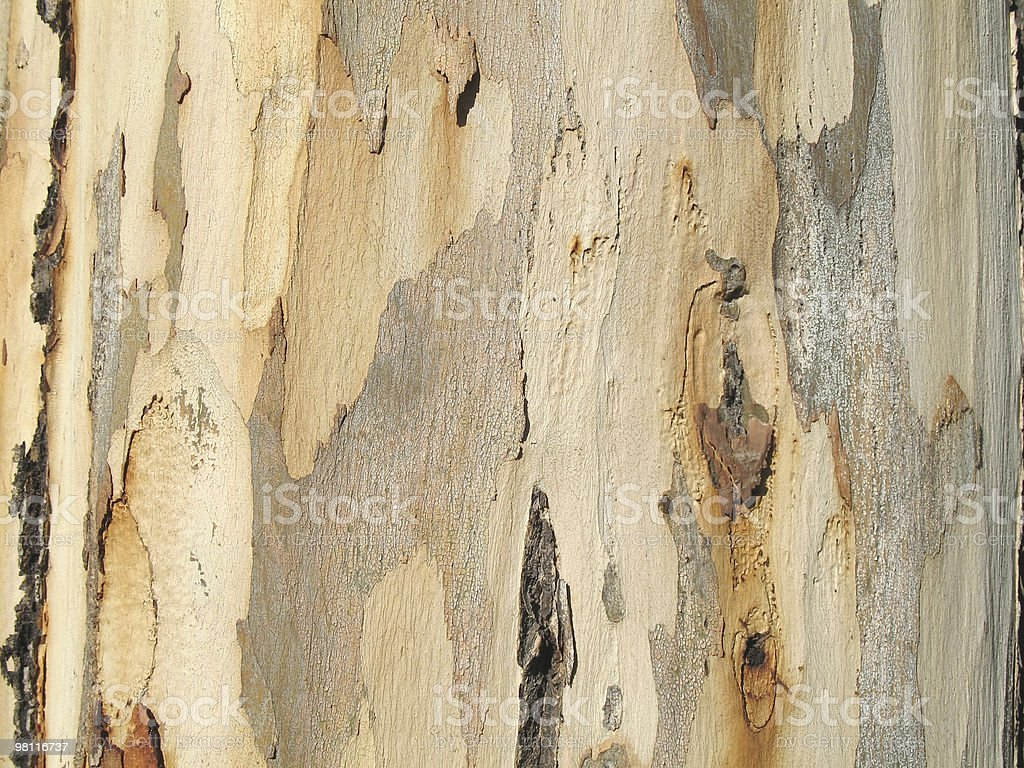 Albero di eucalipto texture foto stock royalty-free