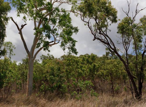 Eucalyptus Trees and Dry Grass stock photo