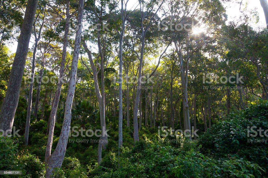 Eucalyptus trees in Australia stock photo