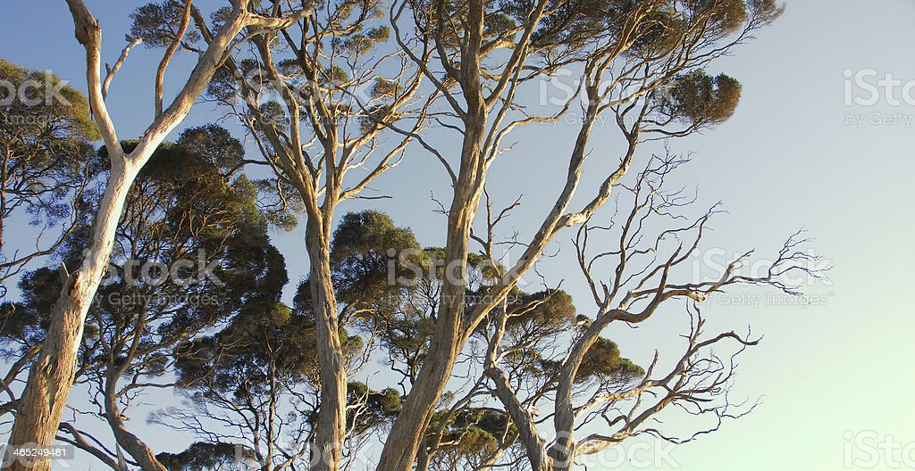 Eucalyptus trees in the afternoon light royalty-free stock photo