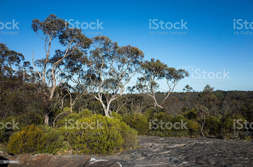 Eucalyptus Trees With Large Rock In Foreground photo libre de droits