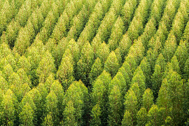 Eucalyptus treetops plantation in Brazil stock photo