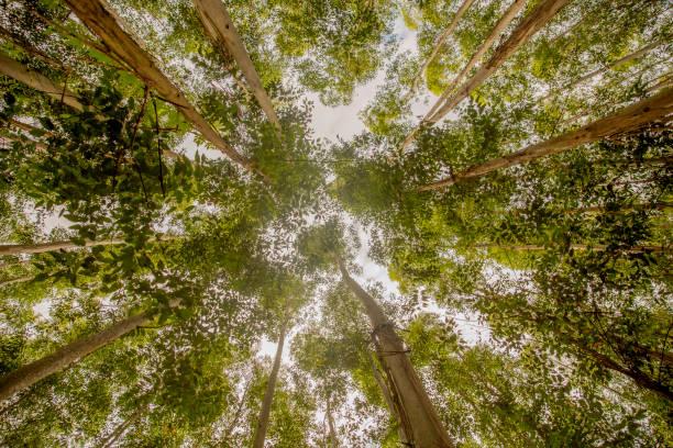 eukalyptus-baumdach - baumgruppe stock-fotos und bilder