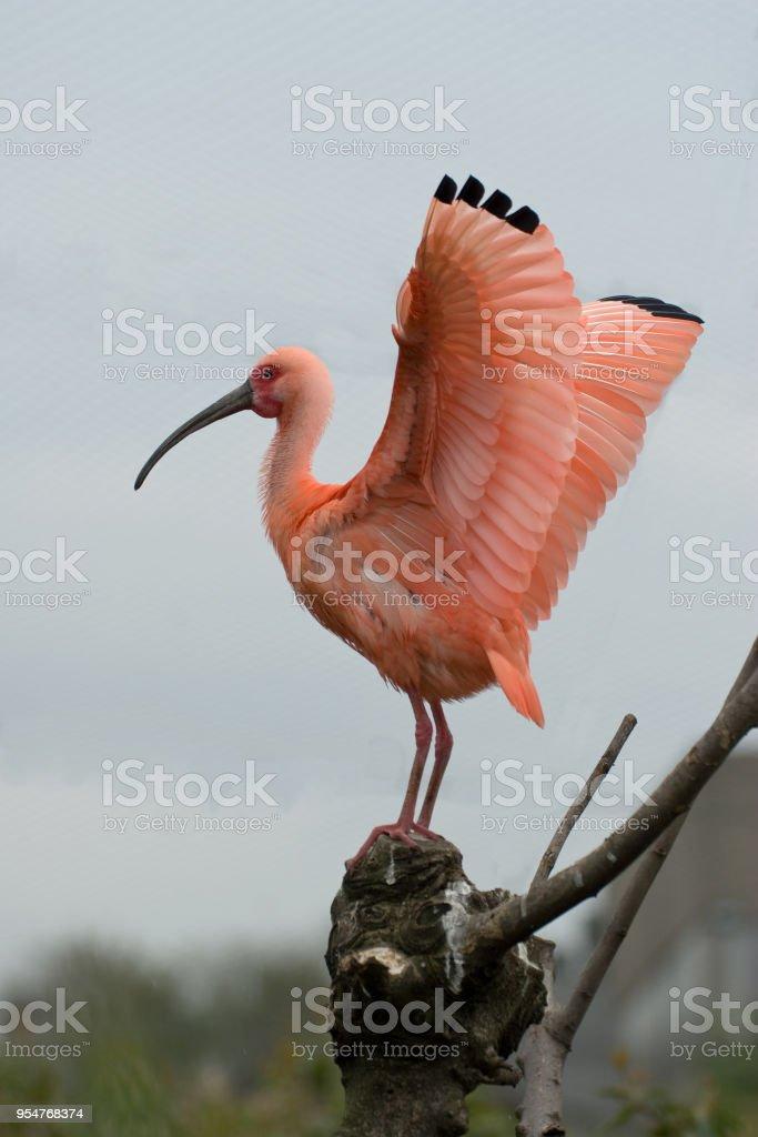 Eudocimus ruber - Ibis rosso - foto stock