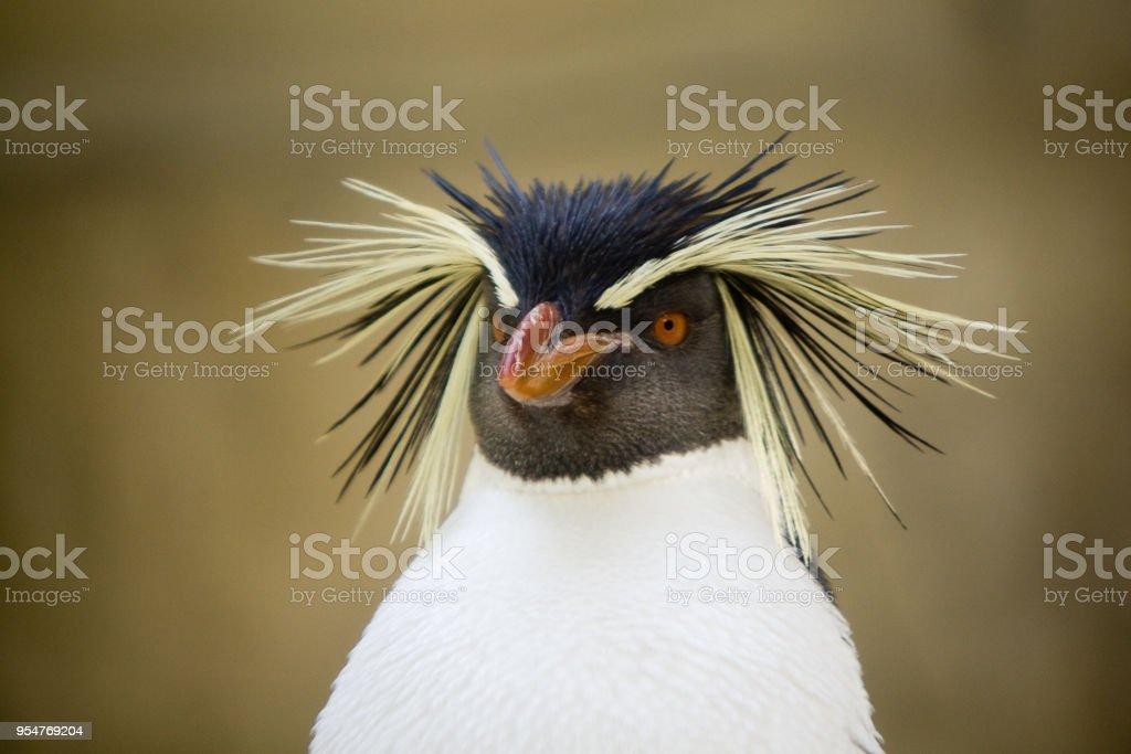 Eudyptes chrysocome - Pinguino delle rocce - foto stock