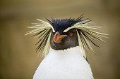Eudyptes chrysocome - Pinguino delle rocce