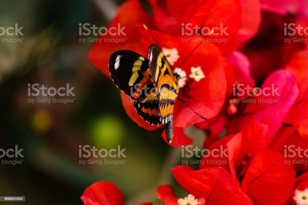 Eueides isabella butterfly sucking nectar on a glabrous Bougainvillea (lesser bougainvillea or paperflower) stock photo