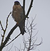 Western Oregon's Willamette Valley.\nFern Ridge Wildlife Refuge.\nNear The City Of Eugene.\n\nAdult Peregrine Falcon.\nProbably Female.