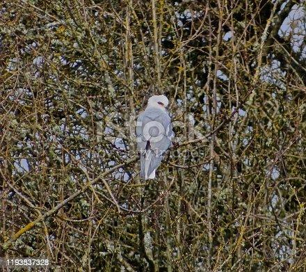 Western Oregon's Willamette Valley. Fern Ridge Wildlife Refuge Edge. Adult White Tailed Kite.