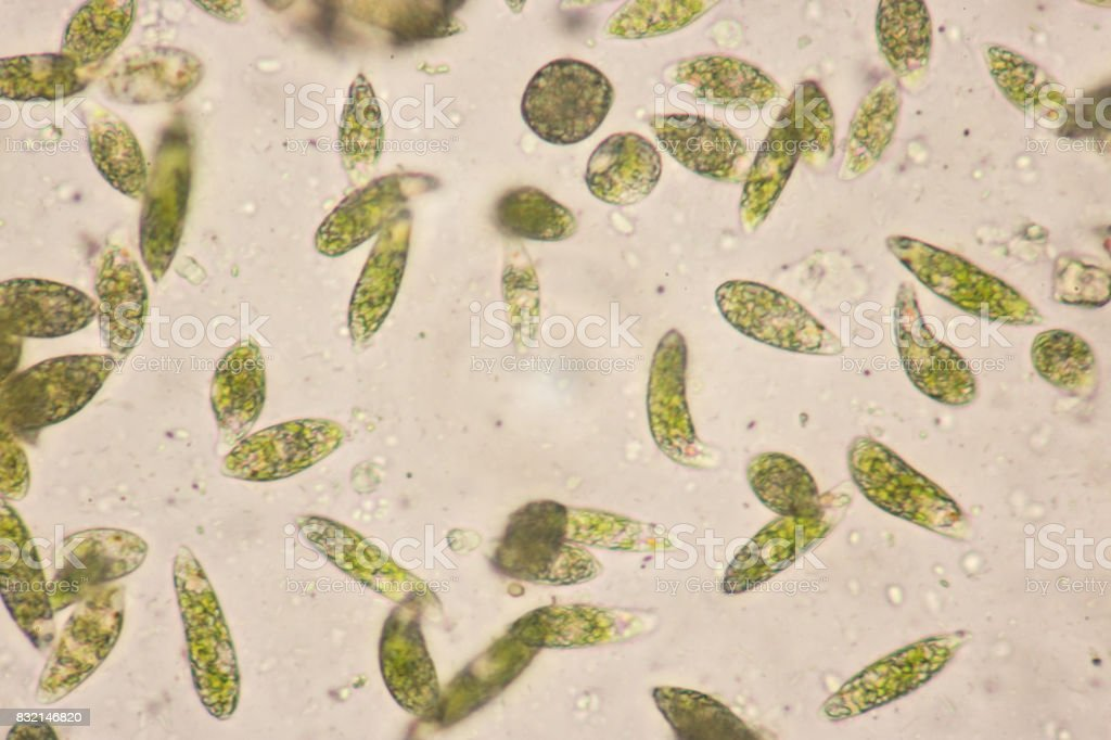 One Celled Organism >> Euglena Is A Genus Of Singlecelled Flagellate Eukaryotes Under Microscopic View For Education ...