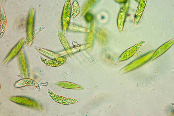 Euglena is a genus of single-celled flagellate Eukaryotes under microscopic view for education. stock photo