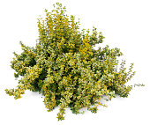 Large Euonymus fortunei - Emerald'n Gold (1m wide)