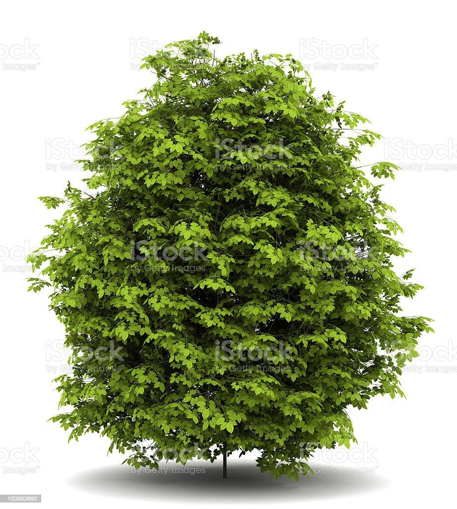 euonymus verrucosa bush isolated on white background stock photo